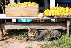 Кот лежа около свежо скомплектованного сбора желтых сладких слив во д стоковое изображение rf