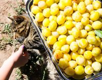 Кот лежа около свежо скомплектованного сбора желтых сладких слив во д стоковая фотография rf