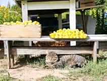 Кот лежа около свежо скомплектованного сбора желтых слив во дворе фер стоковая фотография