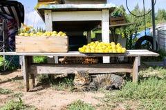Кот лежа около свежо скомплектованного сбора сладких слив во дворе фе стоковая фотография