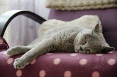 Кот лежит на софе голубой великобританский кот Кот любимчик Стоковая Фотография