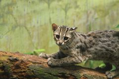 Кот леопарда стоковое фото