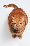кот лижа свои chops стоковое изображение rf