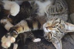 Кот мамы лежит с одним слепым котенком стоковая фотография rf