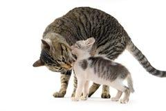Кот матери лижа ее котенка стоковые изображения rf