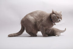 Кот матери с ее младенцем Стоковые Изображения RF