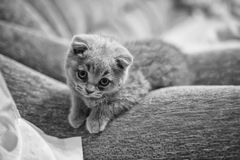 Кот маленький серый scottie Стоковые Изображения
