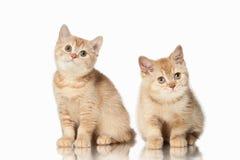Кот 2 малых красных великобританских котят на белой предпосылке Стоковое фото RF