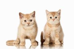 Кот 2 малых красных великобританских котят на белой предпосылке Стоковые Изображения RF