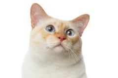 Кот Меконга красивой породы Bobtail изолировал белую предпосылку Стоковая Фотография
