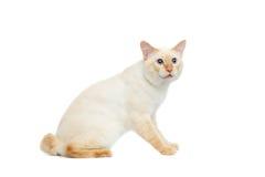 Кот Меконга красивой породы Bobtail изолировал белую предпосылку Стоковые Фотографии RF