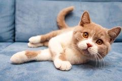 Кот милой великобританской сирени белый bicolour лежит на голубой софе стоковое изображение rf