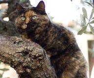 кот мое pallumella Стоковое Изображение
