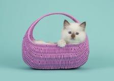 Кот младенца тряпичной куклы при голубые глазы вися над краем розовой корзины на голубой предпосылке бирюзы Стоковое Изображение