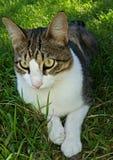 Кот наблюданный золотом Стоковая Фотография
