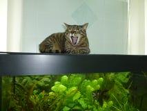 Кот на аквариуме стоковая фотография rf