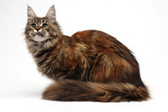 Кот на белизне Стоковая Фотография