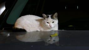 Кот на клобуке видеоматериал