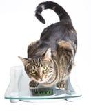 Кот на маштабе. Стоковая Фотография RF