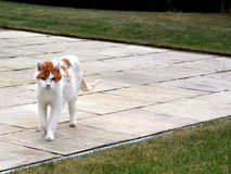 Кот на прогулке Стоковое Изображение RF