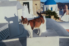 Кот на стене santorini Греции Стоковая Фотография