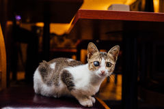 Кот на шторках бездомной шавки стула улицы tricolor один глаз Он смотрит в рамке мистик Стоковая Фотография RF