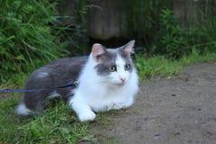 Кот на wolk в перми Стоковая Фотография