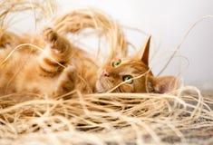 кот немногая красное Стоковые Изображения RF