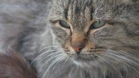 Кот неудовлетворенный портретом злий бездомный на конце-вверх улицы смотрит сидеть унылый сток-видео