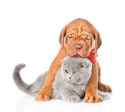 Кот обнимать собаки щенка Бордо шотландский Изолировано на белизне Стоковое Изображение