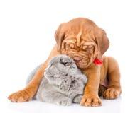 Кот обнимать собаки щенка Бордо шотландский Изолировано на белизне Стоковое фото RF