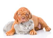Кот обнимать собаки щенка Бордо шотландский На белизне Стоковое фото RF