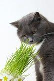 Кот обнюхивает зеленые всходы стоковая фотография