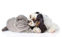 Кот обнюхивать щенка Spaniel кокерспаниеля белизна изолированная предпосылкой Стоковое фото RF