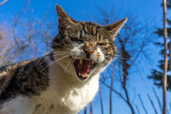 кот опасный Стоковые Фото