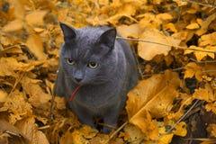 Кот осени Стоковые Изображения RF