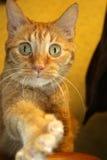 Кот достигая для еды на таблице Стоковое фото RF