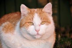 кот отечественный Стоковая Фотография