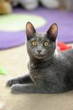 кот отечественный Стоковая Фотография RF