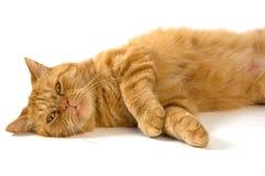 кот отечественный Стоковые Фотографии RF