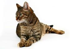 кот отечественный стоковое фото