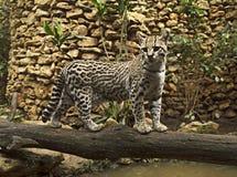 Кот оцелота одичалый стоковое изображение