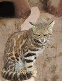 кот одичалый стоковые изображения rf