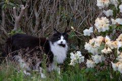 Кот патрулируя в кустах стоковая фотография