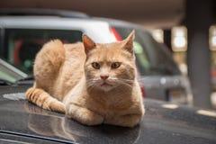Кот переулка на клобуке автомобиля Стоковое фото RF