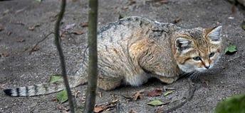 Кот песка Стоковые Изображения