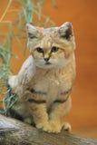Кот песчанной дюны Стоковые Фото