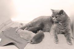 Кот подавая ей котята новорожденного на некоторых полотенцах Стоковые Фото