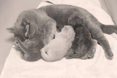 Кот подавая ей котята новорожденного на некоторых полотенцах Стоковое Изображение