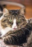 Кот показывает язык Стоковое фото RF